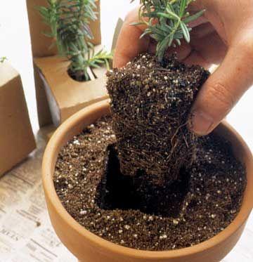 die besten 25 pflanzen in t pfen ideen auf pinterest au entopfpflanzen k belpflanzen und. Black Bedroom Furniture Sets. Home Design Ideas