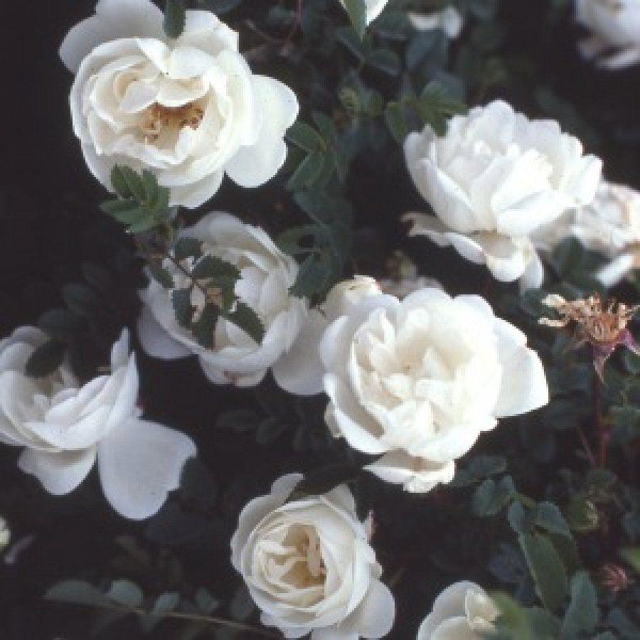 Burnet Double White Rose Pimpinellifolias Shrub 1650 Rare