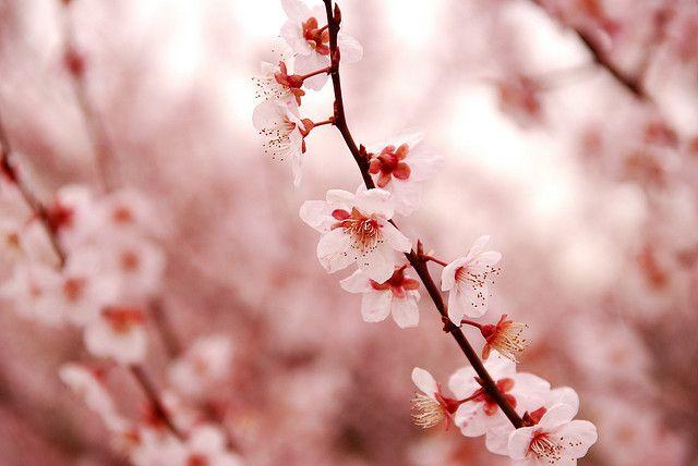 """さくら Cherry blossom by """"KIUKO"""", via Flickr"""