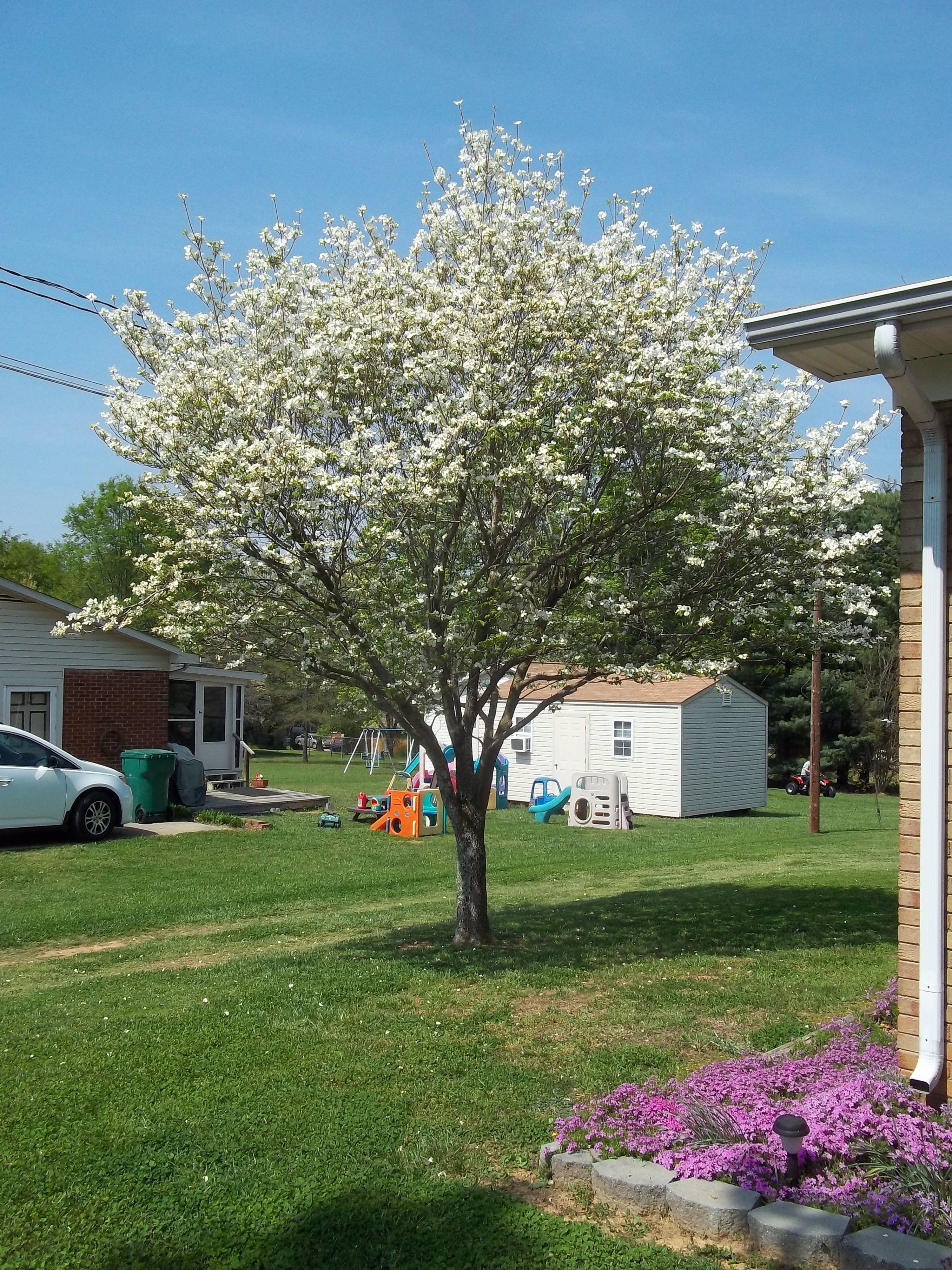 Dogwood Tree | Small to mid size trees | Pinterest | Dogwood trees ...