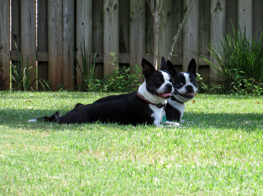 Synchronized Sunbathing - Lucy and Beanie from Crestview, USA (Photo) | Boston Terrier Dogs