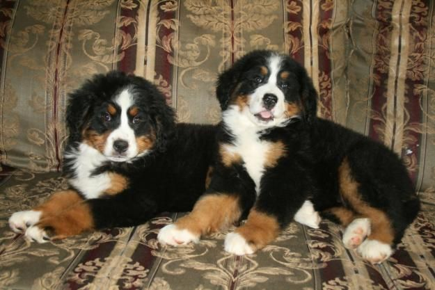 Bernese Mountain Dog Puppies For Sale Uk Dogs And Puppies Puppies Bernese Mountain Dog Puppy