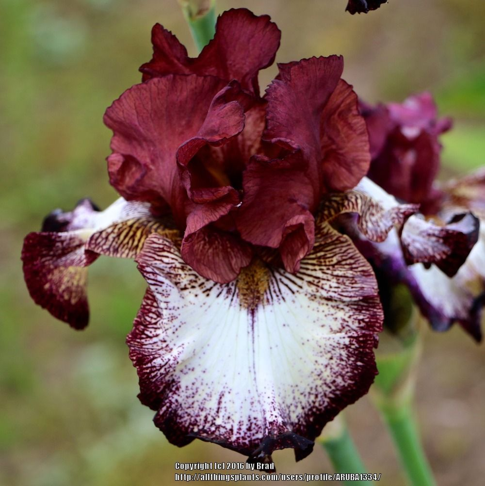 Photo Of Tall Bearded Iris Iris Ghirardelli Square Uploaded By Aruba1334 Iris Flowers Flowers Perennials Iris Garden