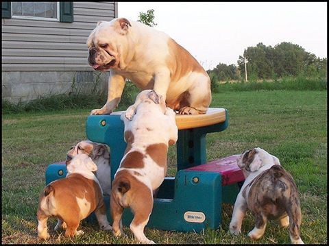 My Bulldog Used To Do This All The Time Get Onto The Highest