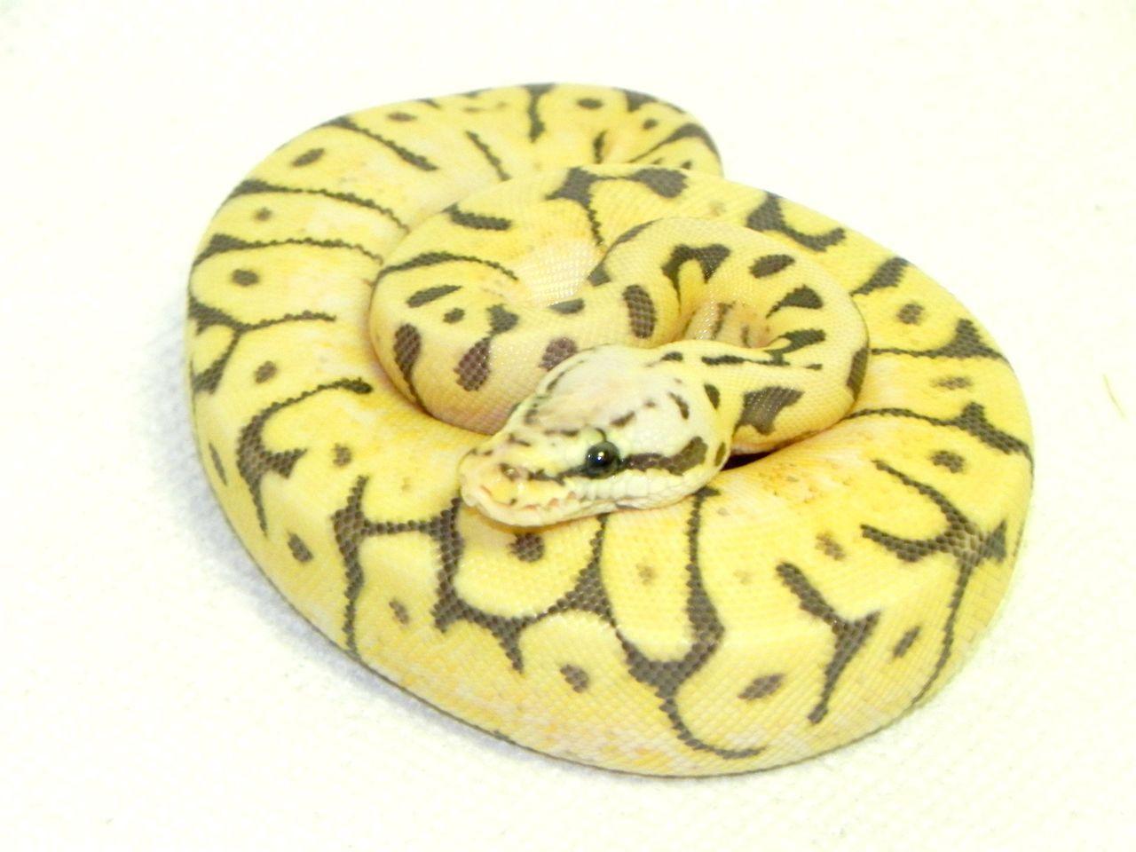 Bien connu Killer Bee Ball Pythons for sale (Python regius) KW37