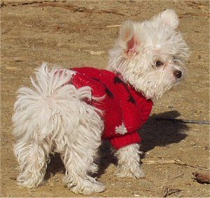 Chi Maltipoo A Combination Of A White Long Haired Chihuahua And A