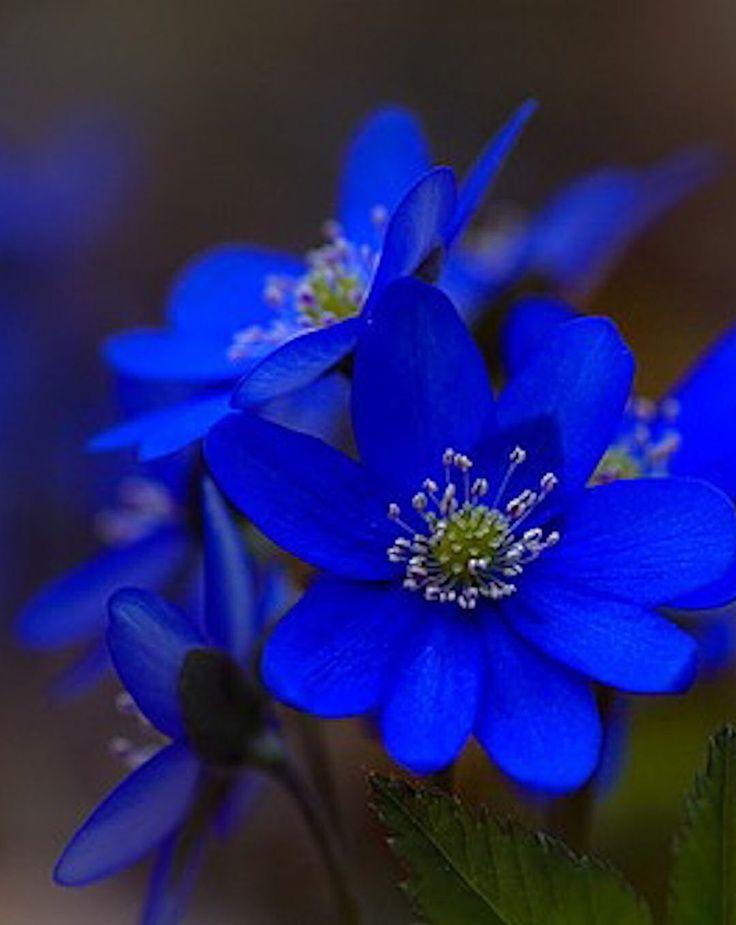 Unas Perfectas Flores Azules Flores Pinterest Blue Flowers