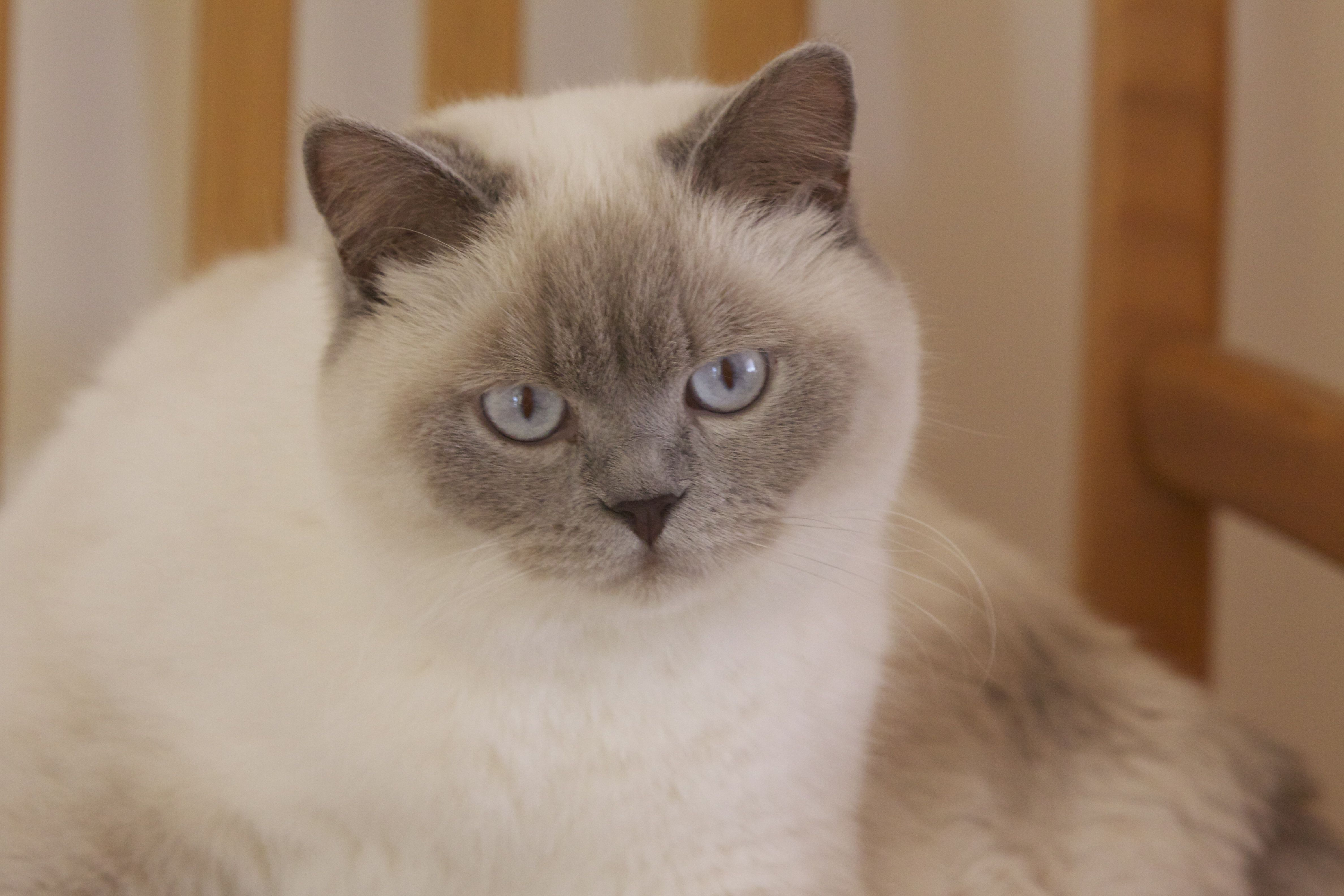 Snowy Colourpoint British Shorthair by Richard Ainsworth
