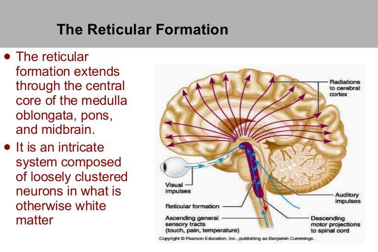 The Reticular Formation | School | Pinterest | Reticular formation