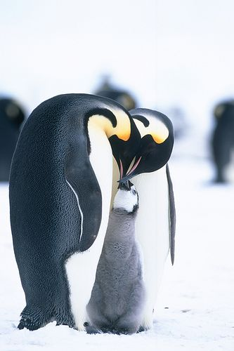 Emperor penguins loving on their baby/chick at Snow Hill Island Flickr