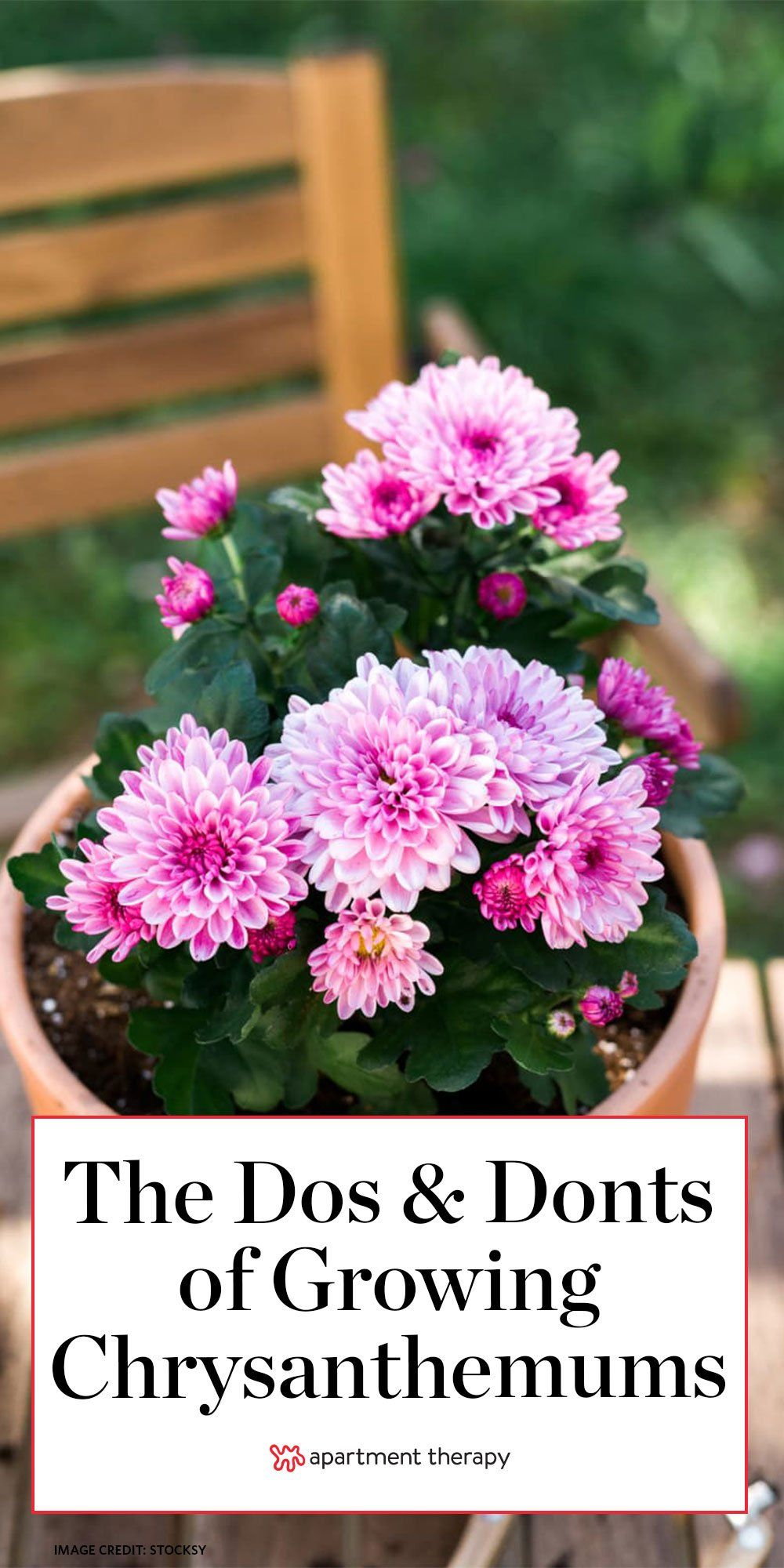 Surprise Now S Actually The Best Time To Plant These Iconic Fall Flowers In 2020 Mums Flowers Chrysanthemum Plant Garden Mum