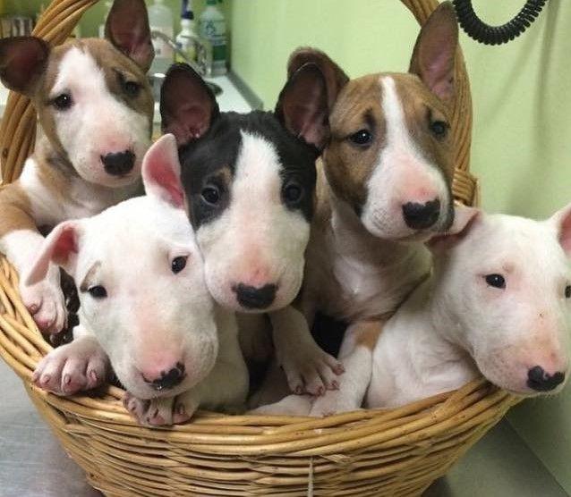 Basket Of Cuteness Bull Terrier Mini Bull Terriers