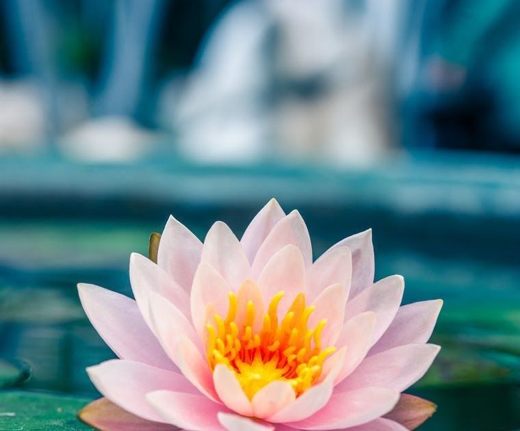 28 Gambar Bunga Teratai Di Atas Air Bunga Teratai Yang Berwarna Merah Jambu Adalah Bunga Nasional Negara India Bunga Sering Bunga Teratai Gambar Bunga Bunga