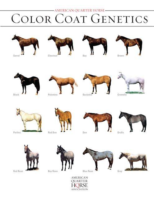 Equine Coat Color Horse Coat Color Genetics Free Report American Quarter Horse Coat Horse Coat Colors Horse Coloring Horse Color Chart