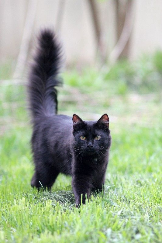 Pictures of Domestic Long Hair Cat Breed I had a cat ...