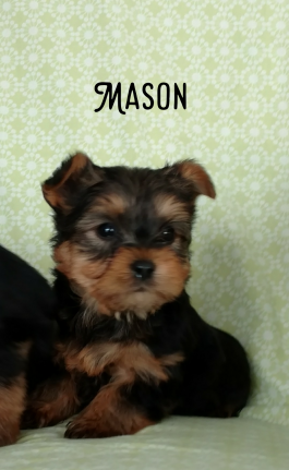 Teacup Rascal Yorkshire Terrier Puppy For Sale In Johnstown Oh Lancaster Puppies In 2020 Puppies For Sale Lancaster Puppies Yorkshire Terrier