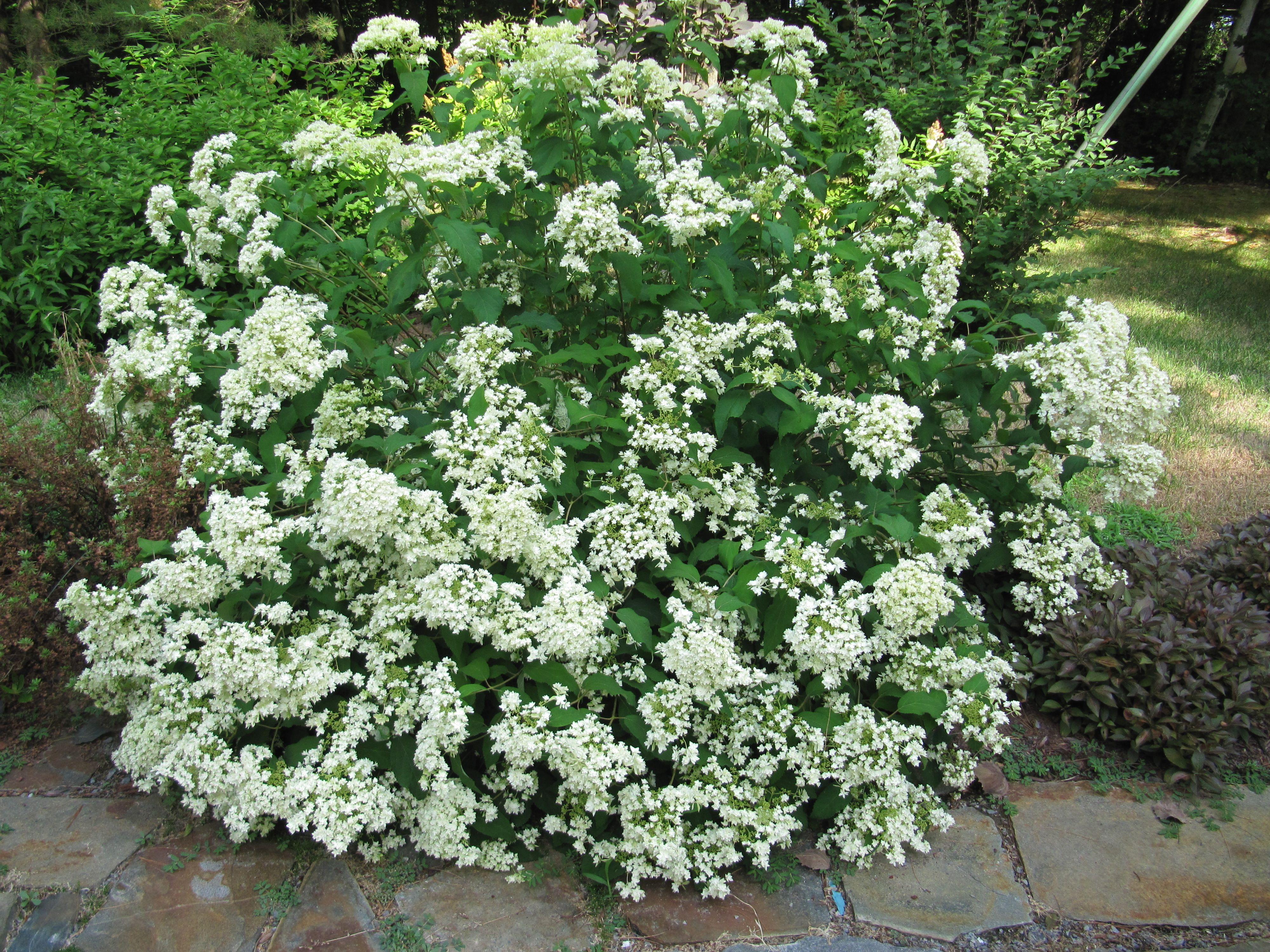 hydrangea arb 39 hayes starburst 39 plants pinterest. Black Bedroom Furniture Sets. Home Design Ideas