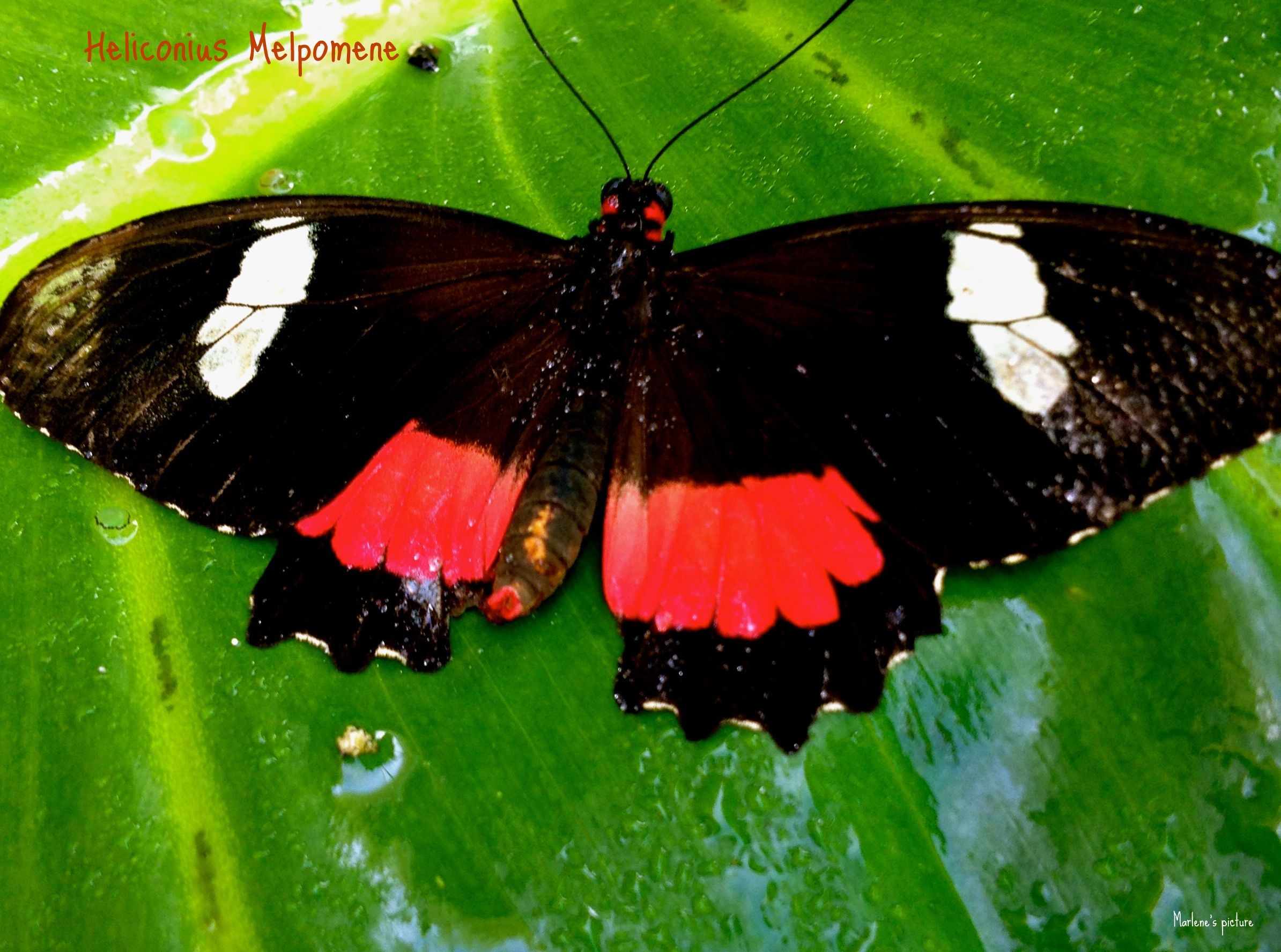 Postman butterfly (Heliconius Melpomene)  There are many morphs of this butterfly throughout Central and South America