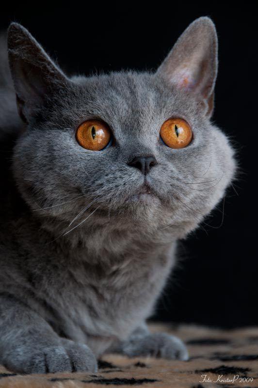 short-haired Selkirk Rex cat