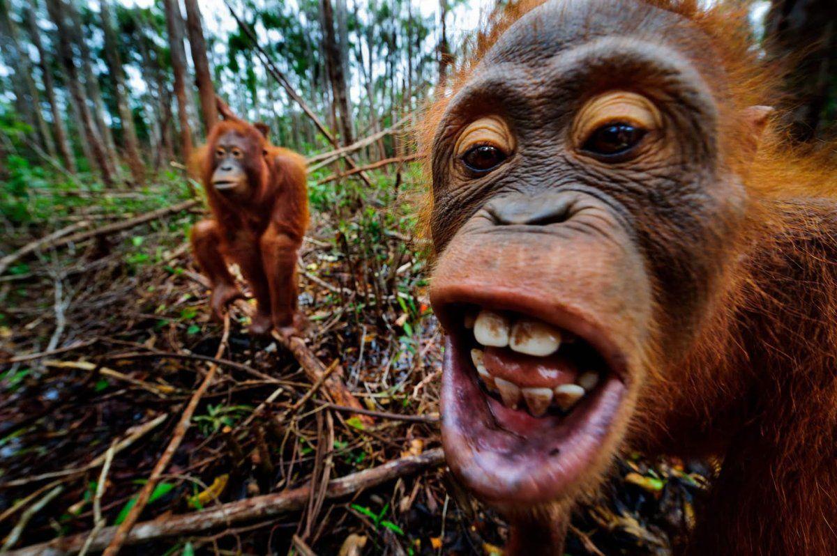 13 Pictures of Beautiful, Endangered Orangutans