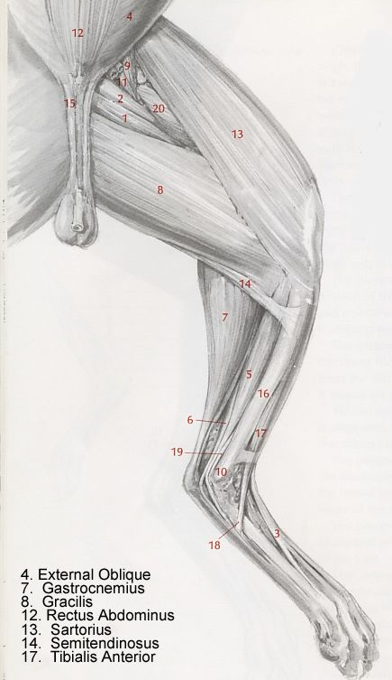 This diagram labels the medial muscles of a felines pelvic limb ...