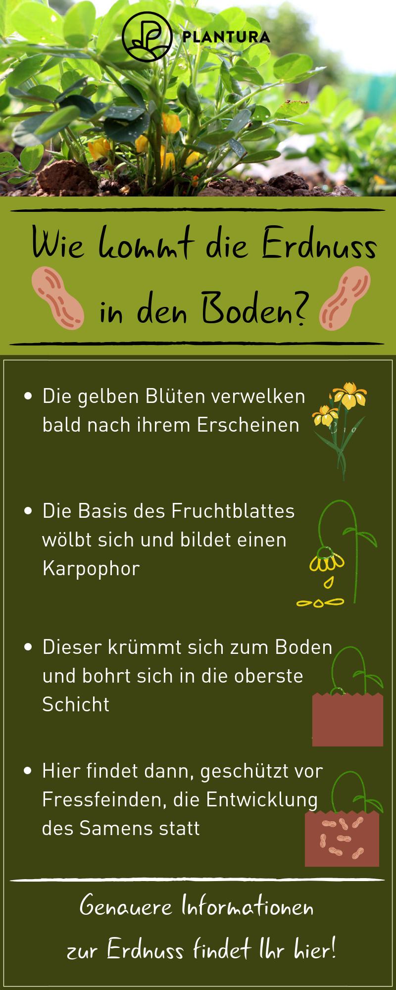 Wie Kommt Die Erdnuss In Den Boden Wer Sich Das Schon Immer Gefragt Hat Erfahrt Jetzt Endlich Die Antwort Wir Erklaren Euch Erdnuss Garten Pflanzen Pflanzen