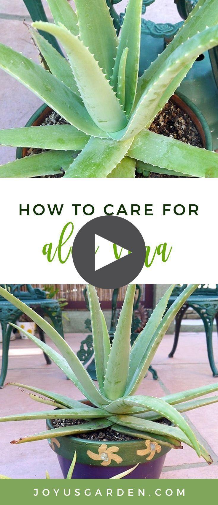 Comment prendre soin de l'Aloe Vera: une plante avec un but en 2020 | Avocat planter, Aloes ...