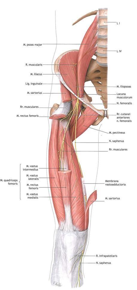 Medial Thigh 2 Lmt Pinterest Yoga Anatomy Muscle