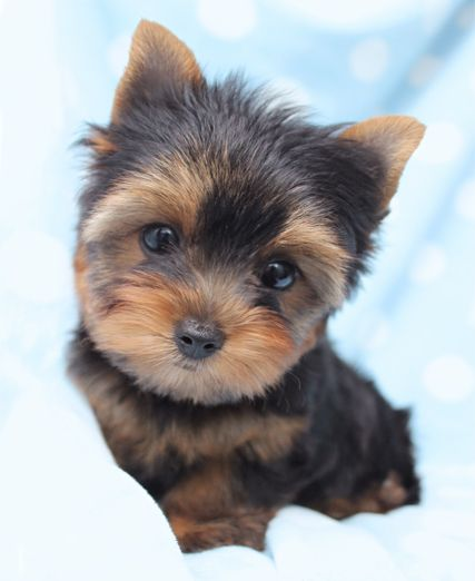 Tiniest Teacup Yorkie Puppies For Sale in South Florida