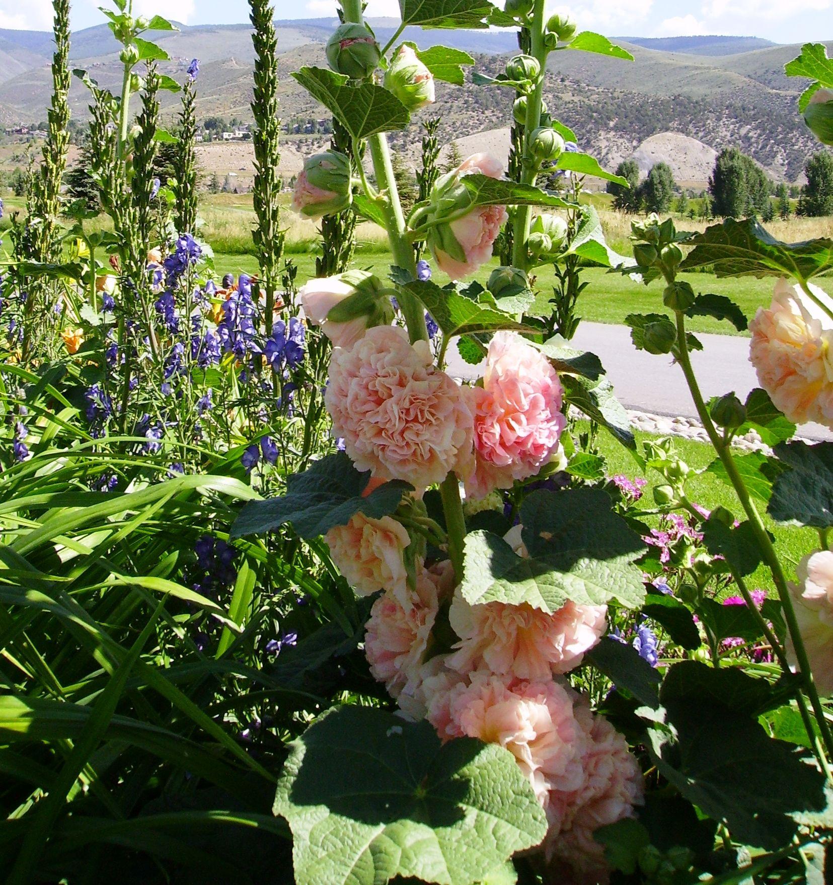 Zone 5 Perennials Longest Blooms | Power Flowers - Alcea ...