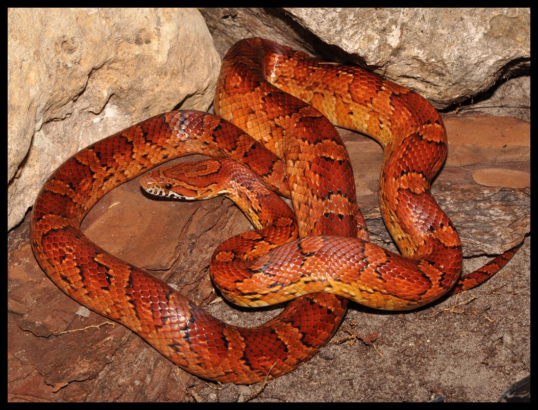 456 best snakes images on pinterest animals amphibians and lizards