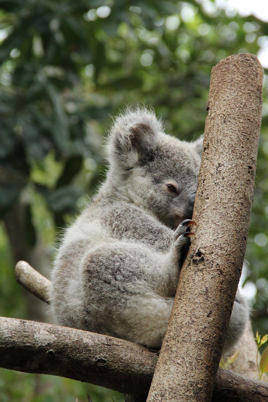 И проститутка коала