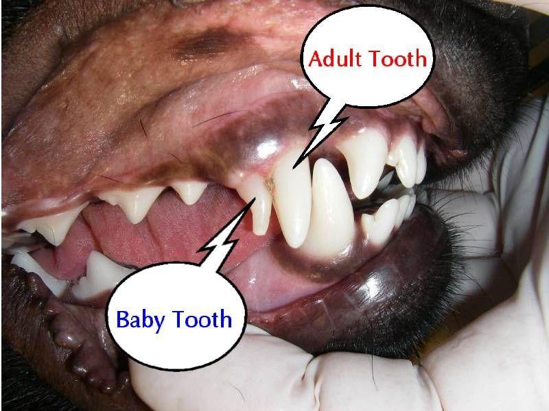 When they lose their baby teeth. yorkiepuppylosingteeth