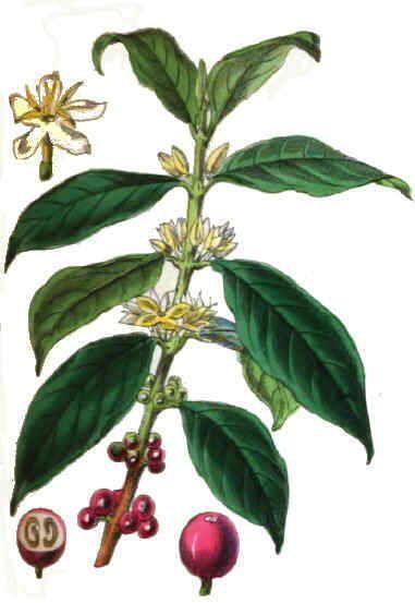 partes planta de cafe buscar con google cafe pinterest