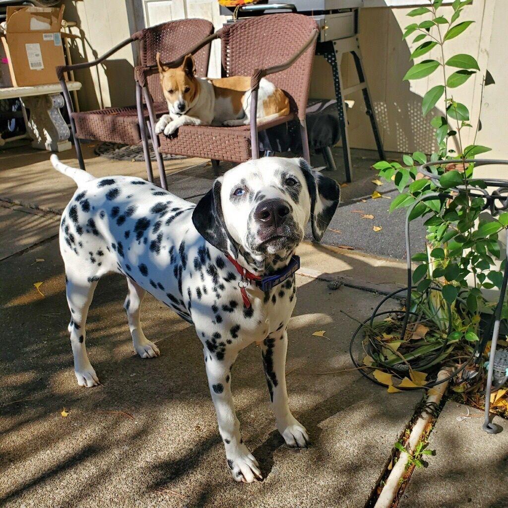 Adopt katy on dalmatian rescue dogs dalmatian dogs