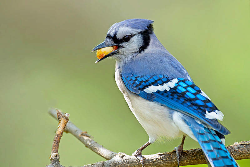 Featured Birds Blue Jays Blue Jays Birds Blue Jay