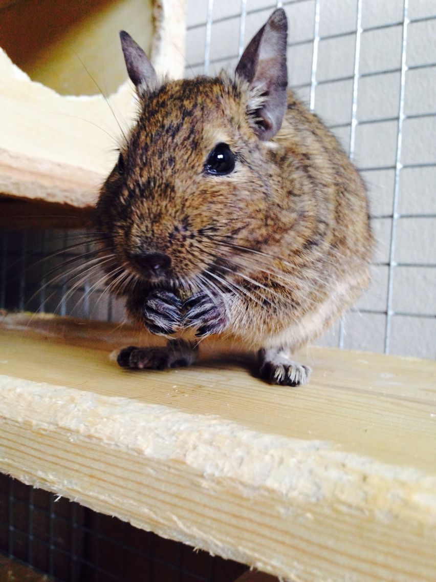 Cute Eating Degu Ratten