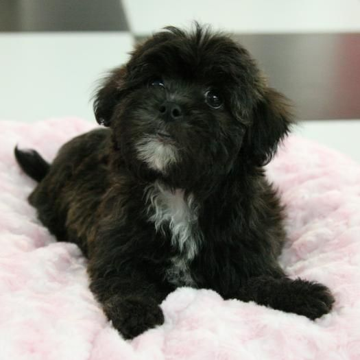 Tally Lhasapoo [Lhasa Apso & Toy Poodle] Puppies