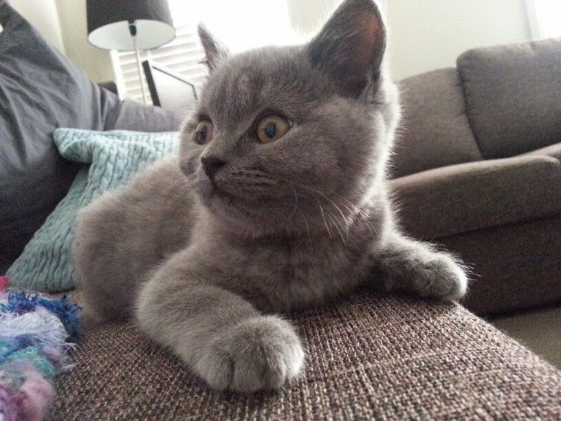 Zeus British Shorthair Kitten 14 Weeks Old Absolutely Adorable British Blue Cat British Shorthair Kittens Fluffy Animals