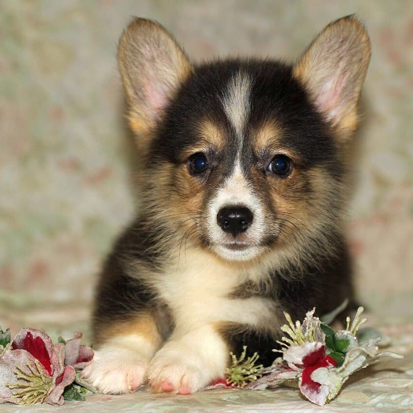 Pets In Uae Fur Z N Feather Z On Instagram Fci Pedigree Male Corgi Puppy Available For More Info Contact 0505212901 Imported From Ukr Corgi Corgi Puppy Pets