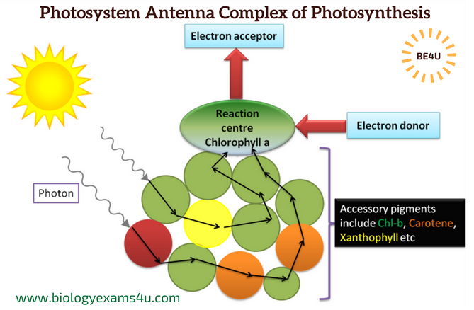 What is photosystems antenna molecule complex of photosynthesis a what is photosystems antenna molecule complex of photosynthesis a simple concept diagram ccuart Gallery