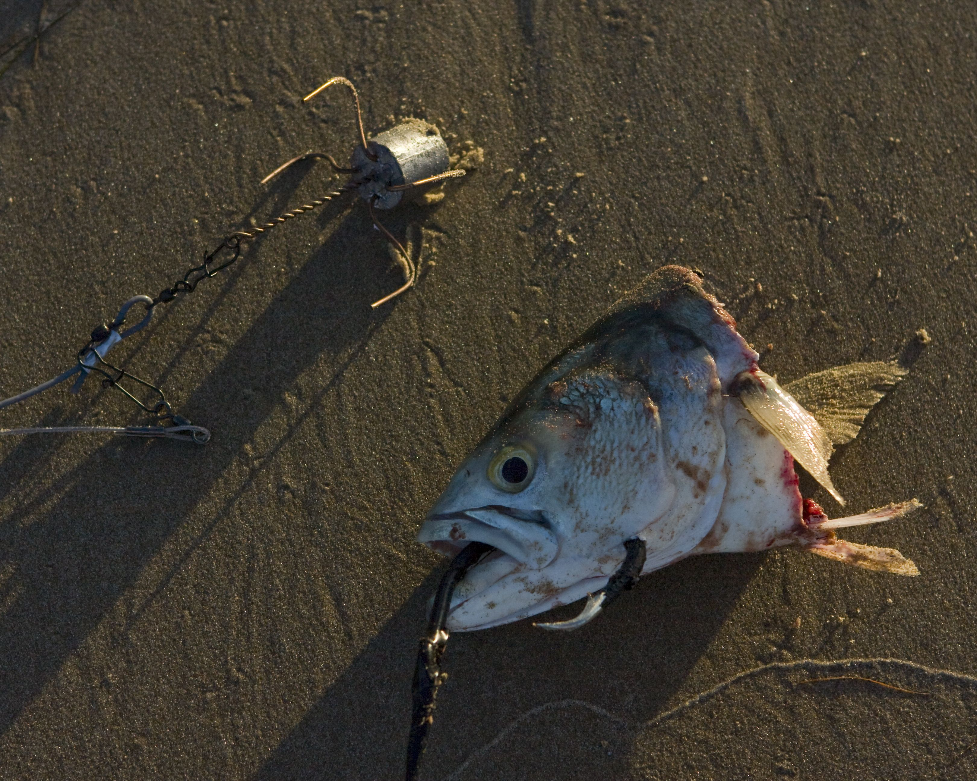 Shark fishing rig with perfect bait saltwater fishing for Surf fishing for sharks