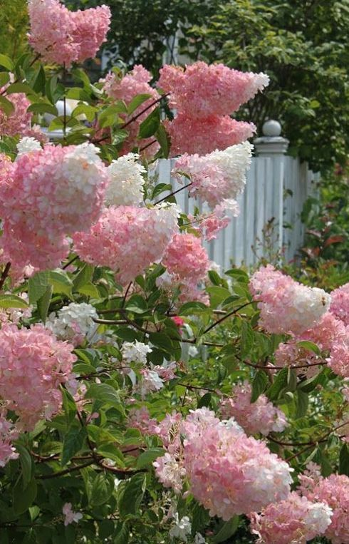 Vanilla Strawberry Hydrangea 1 Full Sun 2 6 7 Ft Tall 3 Blooms In Summer To Fall 4 Prune Back 1 3 In March 4 Somewh Plants Lilac Gardening Flower Garden