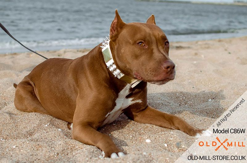 Spiked And Studded Leather Dog Collar For Pitbull Girl Studded