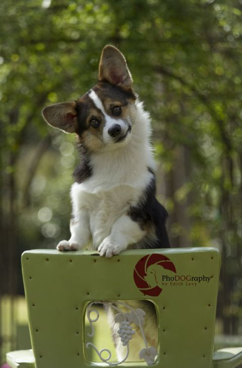 Toronto Pet Photographer Corgi Corgi Dog Corgi Funny Corgi