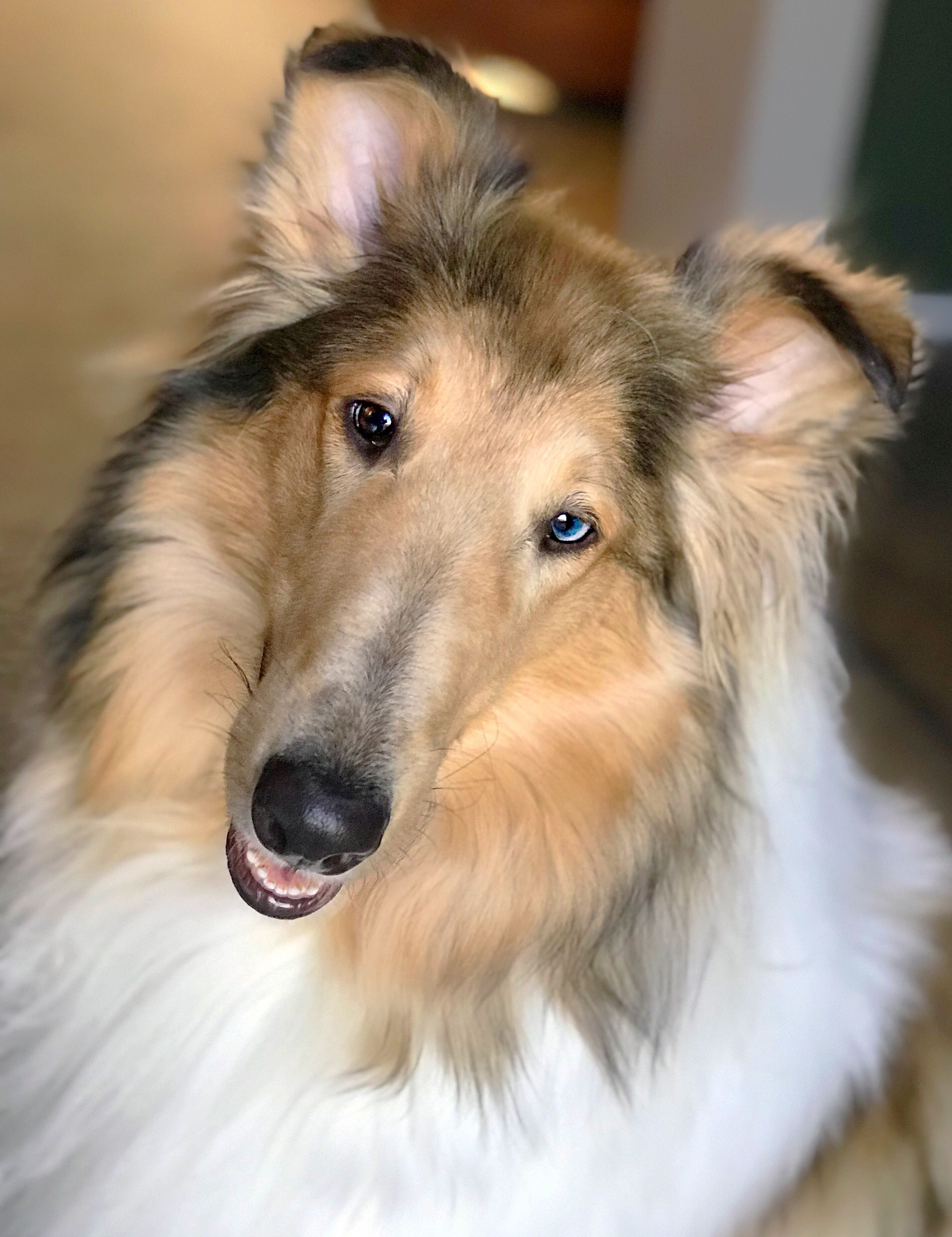 Winnie 1 Year Old Sable Merle Rough Collie Rough Collie Beautiful Dog Breeds Collie Dog