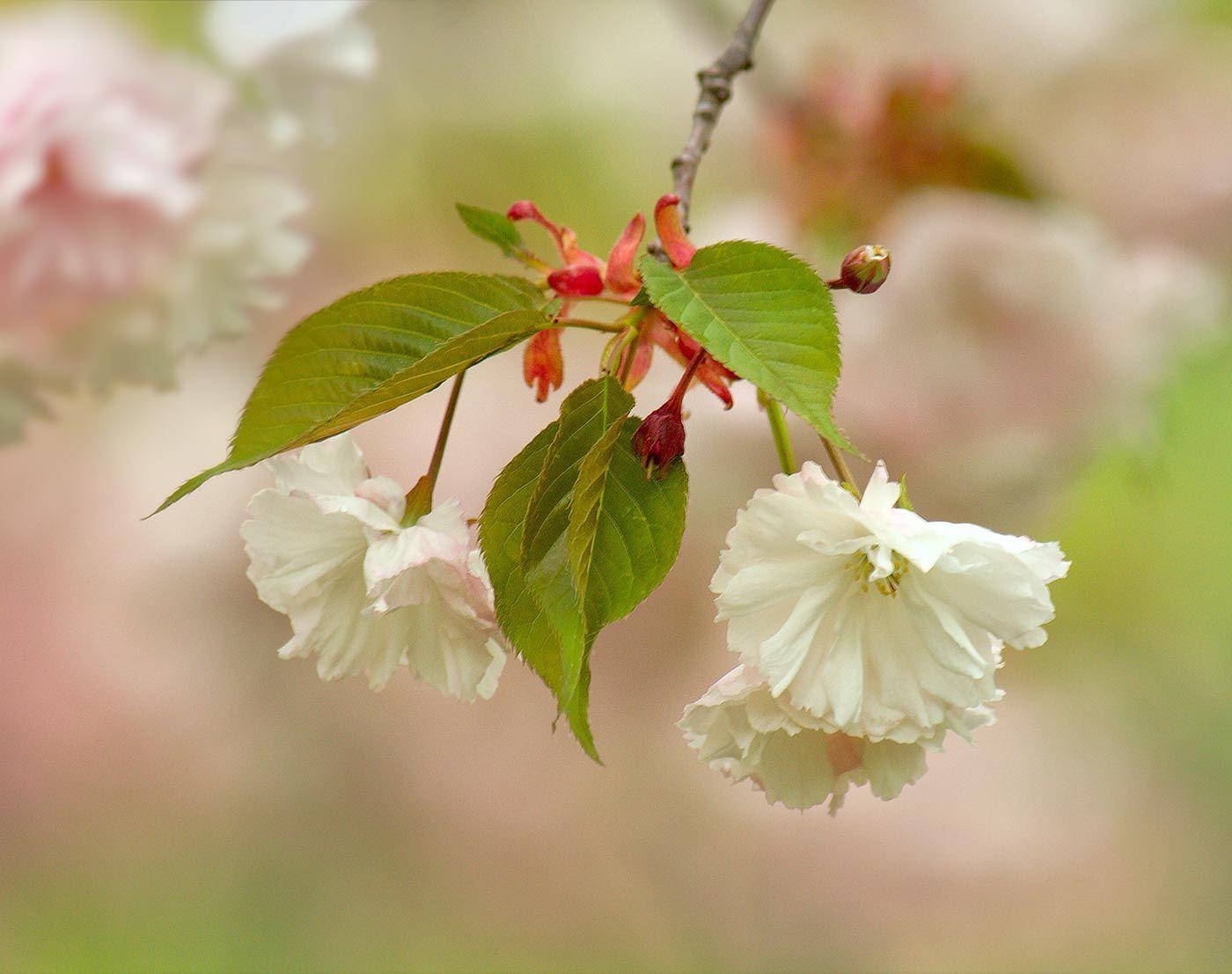 Branch Brook Park Cherry Blossom Festival 2020 Splurgefrugal Com Blossom Cherry Blossom Festival Cherry Blossom