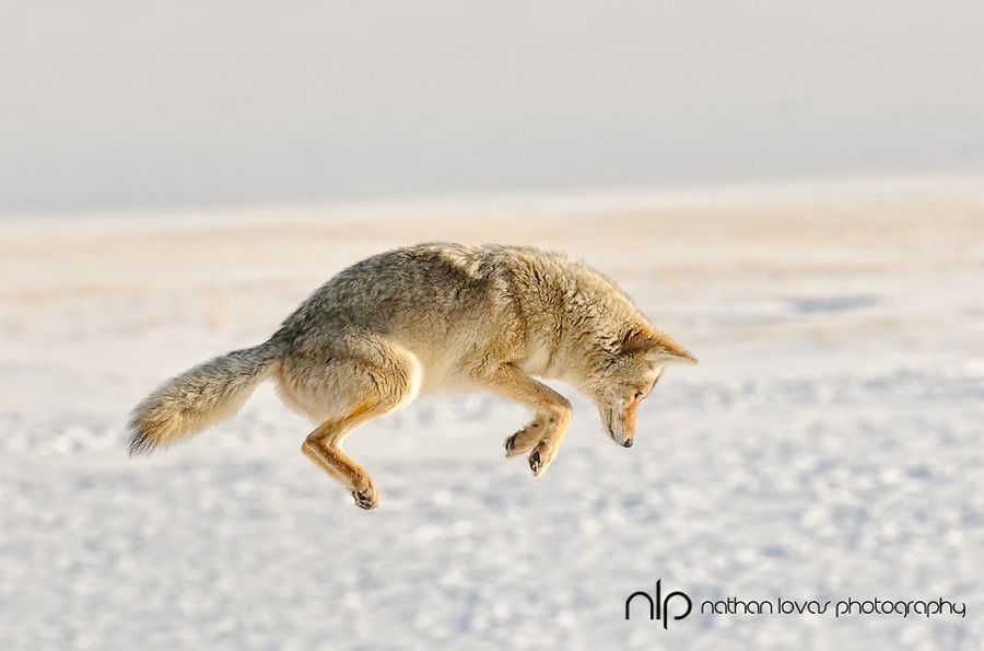 Coyote pouncing in snow; Yellowstone NP. Nathan Lovas photography