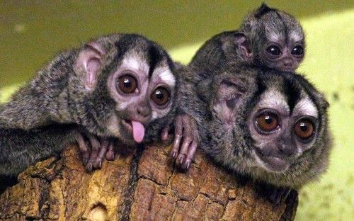 A baby douroucouli also known as a night monkey has
