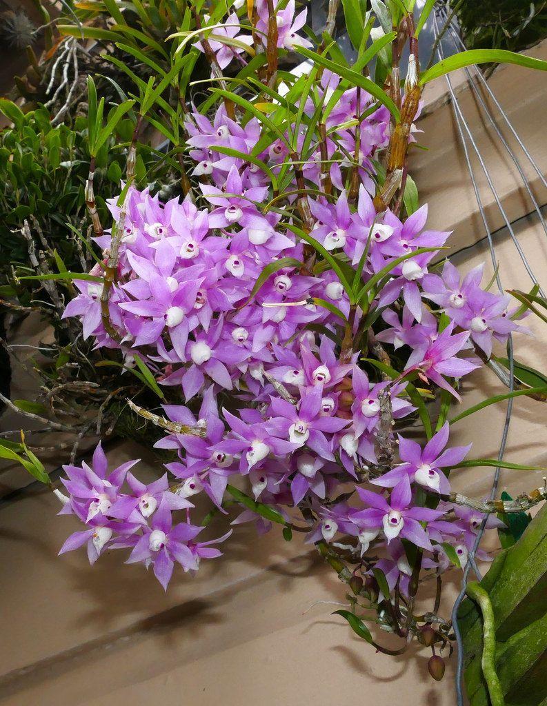 Dendrobium hercoglossum species orchid orquídeas pinterest